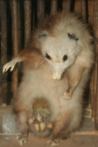 The Carpetbagger The Possum Official Animal Of The South