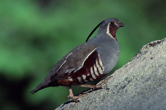Image Result For California Quail Coloring