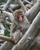 Japanese Macaque - Photo (c) Rick Miller, some rights reserved (CC BY-NC-SA)
