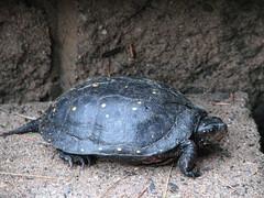 box turtle(0.0), loggerhead(0.0), chelydridae(0.0), animal(1.0), turtle(1.0), reptile(1.0), marine biology(1.0), fauna(1.0), close-up(1.0), common snapping turtle(1.0), emydidae(1.0), wildlife(1.0),