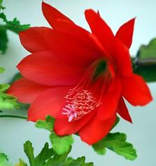 Epiphyllum.