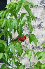 Crouching Cardinal