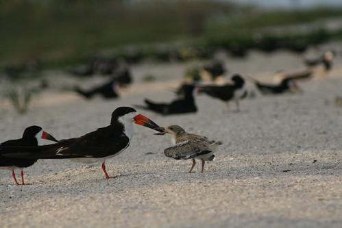 skimmer feeding chick 1