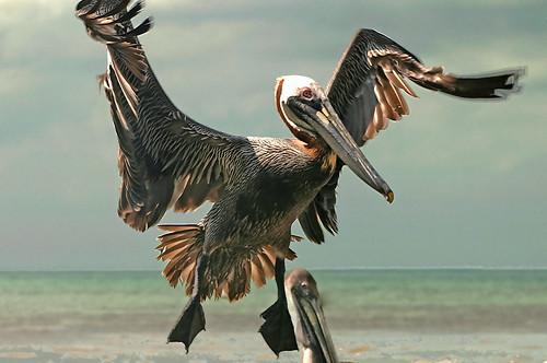 searchthebest pelican naturesfinest supershot flickrsbest anawesomeshot aplusphoto superbmasterpiece avianexcellence diamondclassphotographer flickrdiamond 15challengeswinner challengegamewinner friendlychallenges