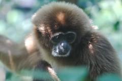 tufted capuchin(0.0), capuchin monkey(0.0), macaque(0.0), ape(0.0), gibbon(1.0), animal(1.0), monkey(1.0), mammal(1.0), fauna(1.0), old world monkey(1.0), new world monkey(1.0), wildlife(1.0),