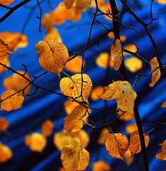orange leafs under artificial blue sky