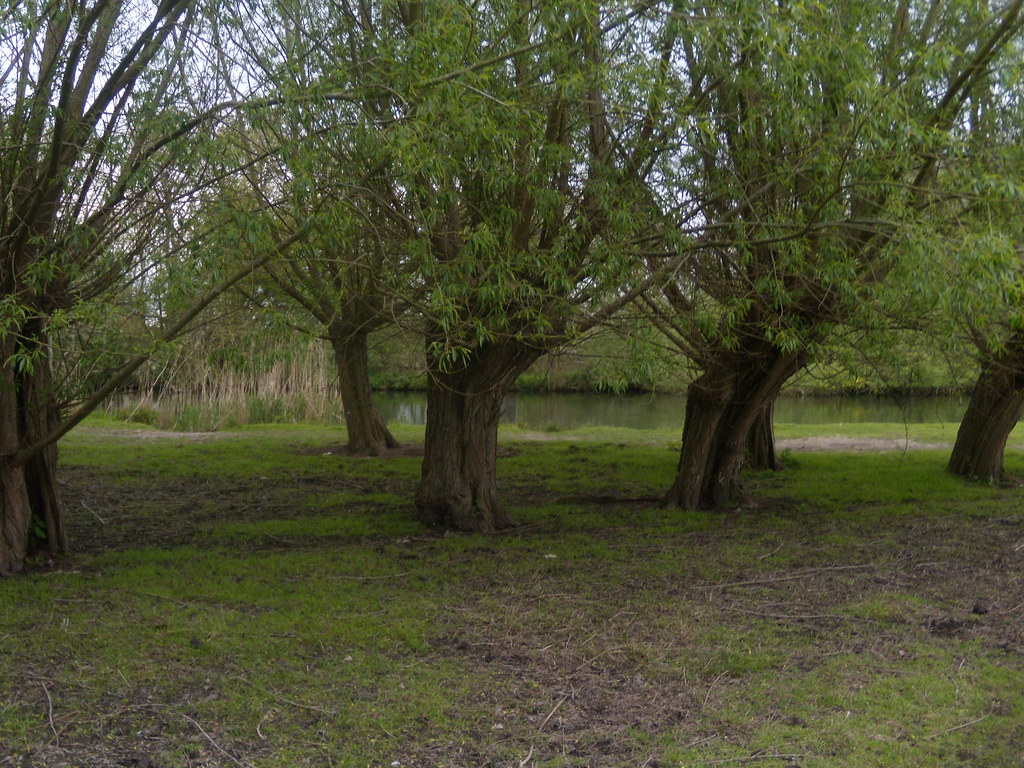 Willow pollards - by the Thames Goring Circular (via Moulsford