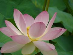 coeur de lotus - Photo of Lias-d'Armagnac