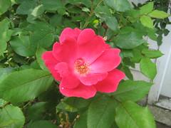 annual plant, shrub, flower, rosa gallica, plant, rosa rubiginosa, flora, rosa acicularis, rosa chinensis, petal,