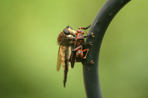 Bearded Robber Fly, Asilidae sp.