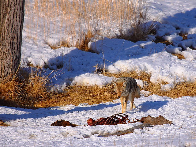 IMG_8512 Coyote Approaching Carcass, National Elk Refuge