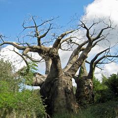 branch, tree, plant, flora, trunk, adansonia,