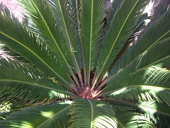 borassus flabellifer(0.0), flower(0.0), saw palmetto(0.0), date palm(1.0), arecales(1.0), tropics(1.0), branch(1.0), leaf(1.0), tree(1.0), plant(1.0), elaeis(1.0),
