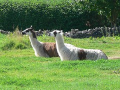 animal, grass, mammal, llama, fauna, guanaco, pasture, wildlife,