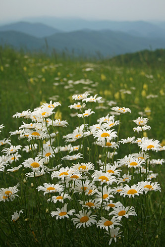 Max Patch Wildflowers