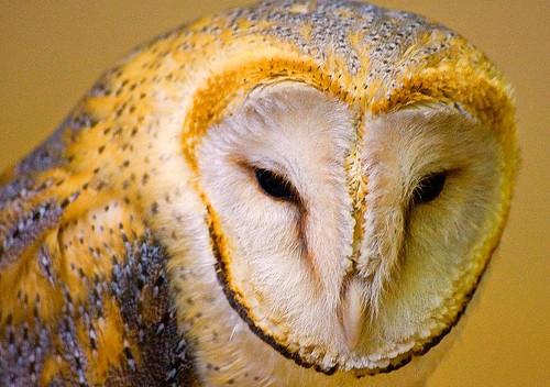 Soren, Ga'Hoole: La leyenda de los guardianes ( Lechuza común, Tyto alba )