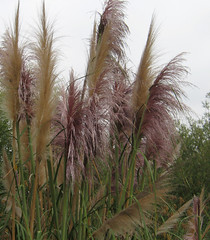 Fresh Pampas grass blossoms