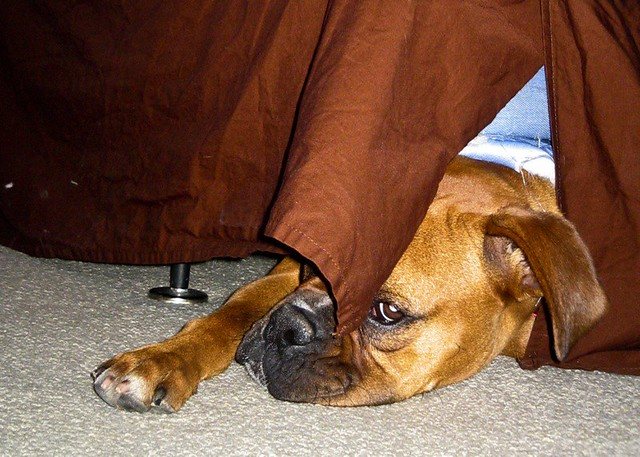 Image Result For Can Boxer Dogs
