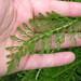 Small photo of Achillea millefolium