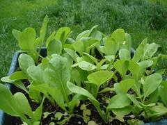 annual plant, komatsuna, leaf, plant, herb, green,