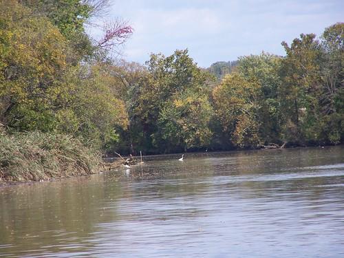 Egret, Northwest Branch, Anacostia River