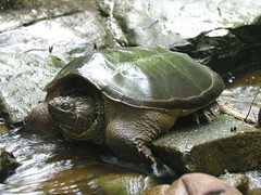 animal, turtle, reptile, marine biology, fauna, common snapping turtle, wildlife, tortoise,