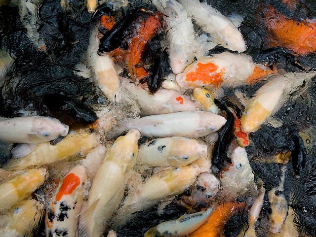 Koi Carp Feeding Frenzy Flickr Photo Sharing
