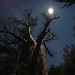 Baobab at Night