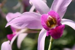 blossom(0.0), cattleya labiata(0.0), cattleya trianae(0.0), flower(1.0), purple(1.0), macro photography(1.0), laelia(1.0), phalaenopsis equestris(1.0), flora(1.0), petal(1.0),