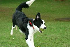 animal sports(0.0), collie(0.0), border collie(1.0), dog breed(1.0), animal(1.0), dog(1.0), pet(1.0), karelian bear dog(1.0), mammal(1.0), russo-european laika(1.0), east siberian laika(1.0),