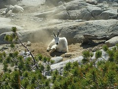 animal, mammal, fauna, mountain goat, wilderness, wildlife,