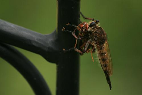 Bearded Robber Fly, Asilidae sp.