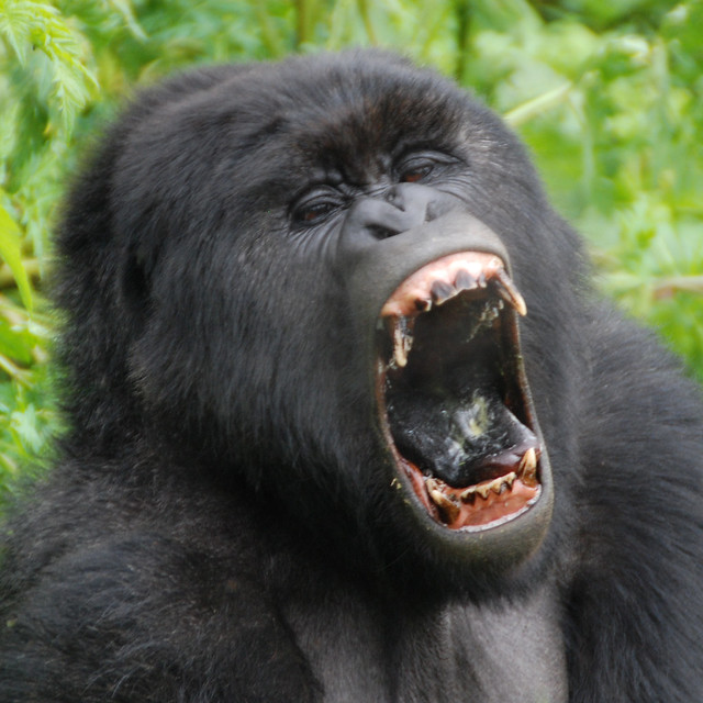 gorilla yawn | in the Parc de Volcans, Rwanda original ...