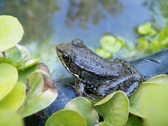 animal, amphibian, frog, green, fauna, ranidae, bullfrog, wildlife,