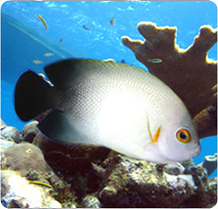 Half-Black Angelfish - (centropyge_vrolikii)