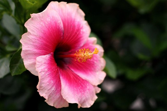 Pink and White hibiscus flowers | Flickr - Photo Sharing!