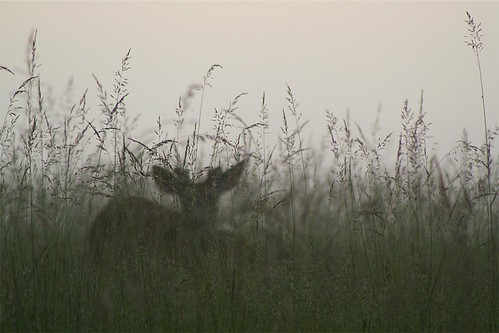 grass canon landscape virginia dusk ghost meadow deer fawn shenandoah bigmeadows shenandoahnationalpark naturesfinest selectedasthebest spselection thermophle
