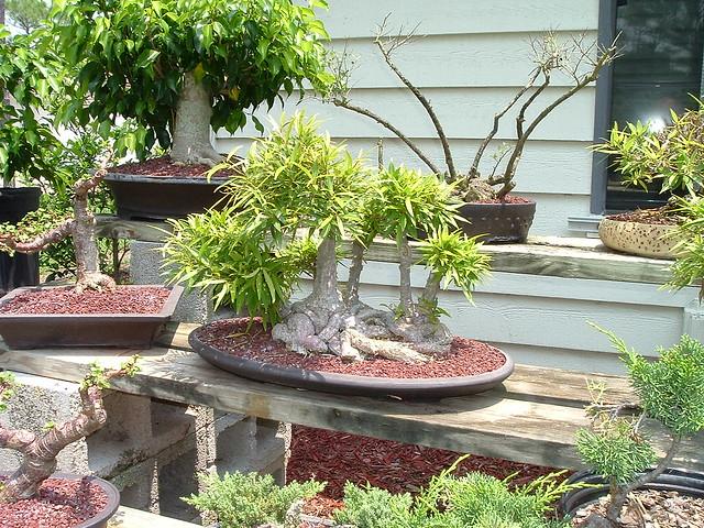 esposizione, pinzatura, ficus, bonsai