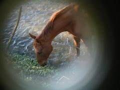 Equus caballus n°2