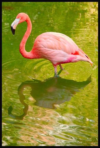 Mirror-pond flamingo