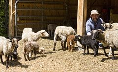 animal, sheeps, sheep, mammal, goats, herd, fauna, goatherd, herding,
