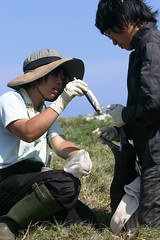 Endangered short-tailed albatross (Phoebastria albatrus), Mukojima Island, Japan