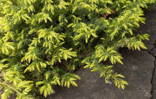 Juniperus conferta 'All Gold' 101010-0384