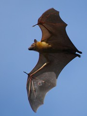 Straw-colored fruit bat - Photo (c) Isidro Vila Verde, all rights reserved