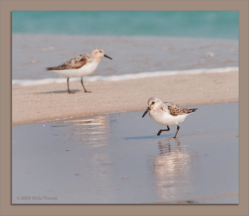 sanderlings 2 by Alida's Photos