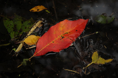 Autumn leaves in the lily pool