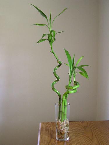 Lucky Bamboo - Dracaena sanderiana
