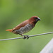 Scaly-breasted Munia - Photo (c) Lip Kee Yap, some rights reserved (CC BY-SA)