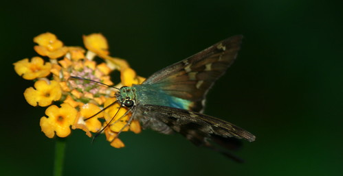 nature beautiful butterfly insect long bokeh skipper tailed mywinners colourings