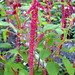 Small photo of Amaranthus